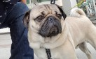 #SPOTTED: DOUG THE PUG IN TORONTO FOR WOOFSTOCK
